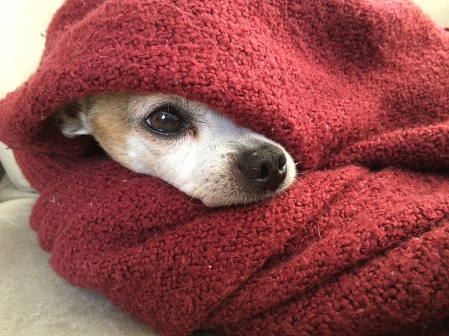 chihuahua feeling cold In winter
